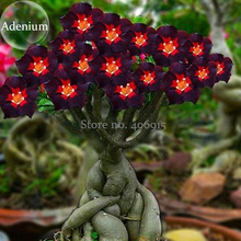 Rare Brown Black Adenium Desert Rose with Fire Red Heart Flower, 2 seeds, bonsai compact single petal flowers E3959