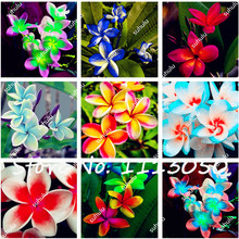 200Pcs/Bag Plumeria ( Frangipani, Hawaiian Lei Flower ) Seeds, Rare Exotic Flower Seeds Egg Flower Seeds for Home Garden