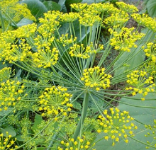 30 Dill seeds Surrounded by Flower Aromatic Cooking Herb Easy Planting Fennel  Fresh Air