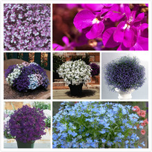Cuidie upright flower seeds Vieira series product 20 seeds