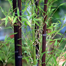 Rare Black Bamboo Seeds Beautiful Bonsai Seeds for DIY Home Garden Household Items - 60 PCS