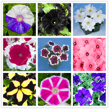 100pcs/bag great petunia seeds bonsai flower seeds Great morning glory seeds potted plant for home garden(China)