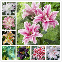 1 bulb true lily bulbs,lily flower,(not lily seeds),flower indoor plant Radiation Absorption,Natural growth for home garden