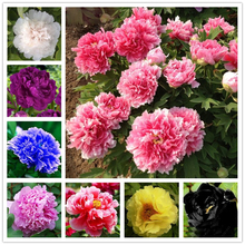 10 pcs/bag peony seeds Terrace Courtyard Garden Paeonia Suffruticosa Seeds perennial flower seeds potted plants for home garden(China)