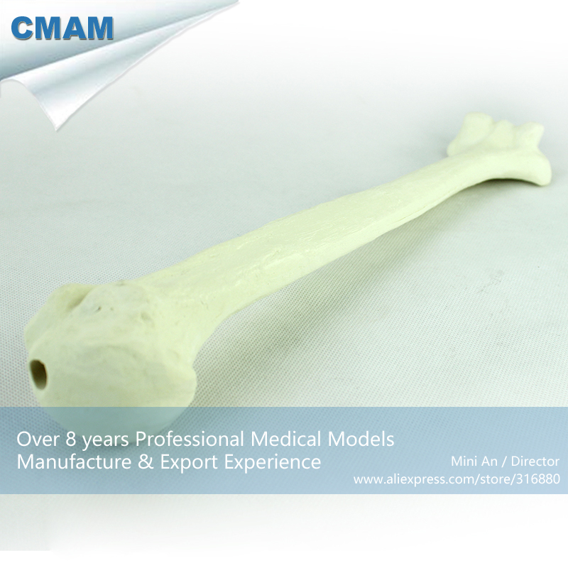 CMAM-TF10 Solid Foam Normal Anatomy Humeral with Medullary Cavity,  Medical Science Educational Teaching Anatomical Models<br>
