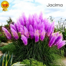 600pcs Hot Sale reed seeds Purple Pampas Grass Flowers Cortaderia Selloana Flowerphragmites communis Japanese seeds Bonsai