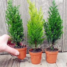 Hot 50 PCS ITALIAN CYPRESS (Cupressus Sempervirens )Tree Seeds,Popular Hardy Bonsai Seeds for Home Garden Planting Free shipping(China)