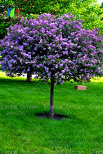 Lilac Flower Tree Seeds, 50pcs/bag Perennial Garden Aromatic Plant Seeds(China)