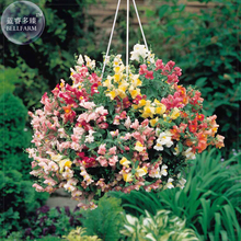 Antirrhinum 'Trailing Mix' Annual Bedding Plant Seeds, 100 Seeds, professional pack, hanging snapdragon flowers TS394T
