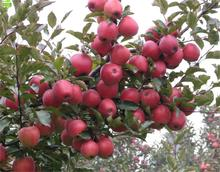 Dwarf apple apple seed spur precocious high-yielding seed easily picking apples Apple 5 seeds / pack