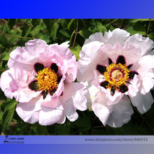Rare 'Zi Ban' Pink Peony Tree with Black Spot Flower Seeds, Professional Pack, 5 Seeds / Pack, Beautiful Garden Flowers E3172