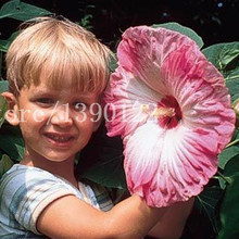 100 PCS Giant Hibiscus Flower Seeds chinese cheap flower Hibiscus seeds best gift for your kids easy grow for home garden