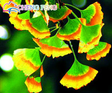 Hot Sale Free Shipping 5pcs Rare Rainbow Ginkgo Seeds Beautiful Autumn Leaves Potted Tree  Bonsai Plant Perennial Flowers Seeds