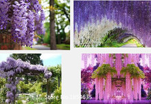 Garden Plant 50pcs/bag wisteria flower seeds,wisteria flower,chinese wisteria bonsai white sky blue pink yellow purple free ship