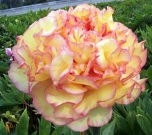 New 20 PC/bags, Chinese herbaceous Peony seeds, pot seeds, flower seeds, roses gift delivery g22