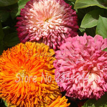200 Mixed Colors CALIFORNIA GIANT ZINNIA Elegans Flower Seeds Free Shipping