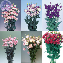 100% Genuine Eustoma Grandiflorum Flowers, Professional Pack, 10 seeds, bonsai mixed perennial flower seeds E4044