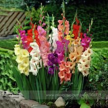 Rare Heirloom Different Beautiful Gladiolus Flower Seeds, Professional Pack, 50 Seeds / Pack, Cut Flower Sword Lily Seeds E3083