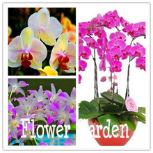 Bonsai balcony flower butterfly orchid seeds phalaenopsis orchids -10 pcs seeds Beautiful garden,#MU8XYX
