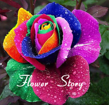 Mystic  Holland Rainbow Rose Bush Flower Seeds 200 Stratisfied Seeds DIY Home Garden Exotic Flower Free Shipping