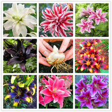 Real good quality lily bulbs, (not lily seeds), perennial bonsai pot Bulbous Root Double petals lilium plants easy to grow 2 pcs