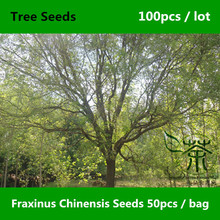 Deciduous Tree Fraxinus Chinensis Seeds 100pcs, Ornamental Plant Chinese Ash Seeds, Novel Plant Family Oleaceae Bai La Shu Seeds