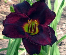 Hybrid Mix Black Daylily Flowers Seed, Rare Colour Hybrid Hemerocallis Seeds - New Day Lily Seed Packet