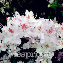 100Pcs/bag Rare Bonsai Hot Rose &Pink Azalea Seeds Looks Like Sakura Japanese Cherry Blooms Sims Azalea Flower Seeds