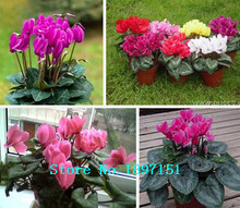 Big sale Hot Sale 7 Colors Can be Choose Cyclamen seeds Flower Seeds Perennial Flowering Plants Cyclamen Seeds - 100 PCS