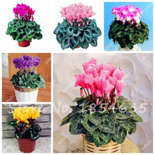 50 Pcs/Bag Cyclamen Flower Seeds, Beautiful Bonsai Flower Seeds for Home Garden Plant Pot Natural Growth, the Budding Rate 97%(China)