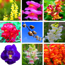 Promotion! 100 Pcs/Lot The Death Rose seeds rare and mysterious plant species of snapdragon flower seed