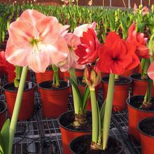 50 Seed/pack Amaryllis seeds, free shipping cheap Amaryllis seeds, Barbados lily potted seed, Bonsai balcony flower