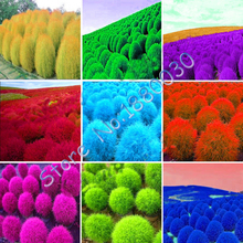 7 different colors 120 Seeds/bag Grass Burning Bush Kochia Scoparia RED Garden Seeds Exotic Easy to Grow High Germination