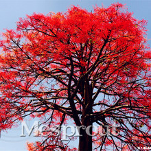 100% True Hot Item 10 Pcs A Bag 100% Genuine High-quality Flame bottle tree Seeds Rare Tropical Plants For *Free Shipping