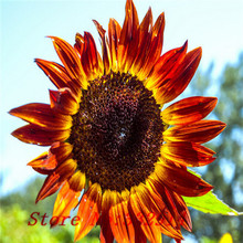 Sale!100 Seeds Rare Garden Mini SUNFLOWER Seeds Plant , mixed varieties , so beautiful , colorful 1 original Package