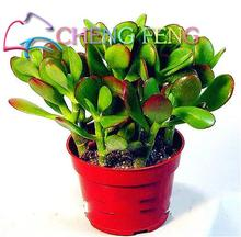 100PCS Swallow Palm Seed100% Genuine Fresh Rare Jade plant bonsai Succulent Flower Seeds Free Shipping(China)