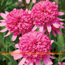 Echinacea Southern Belle Coneflower Flower Seed, 50 Seed, Pink Double Large Blooms Light Up Your Garden-Land Miracle