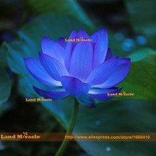 1 Seeds/pack, BLUE LOTUS Nymphaea Caerulea Asian Water Lily, Pad Flower Pond Seeds *CombS/H