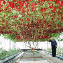 20 Italian Tree Tomato *RARE HEIRLOOM!!* SEEDS OF LIFE TOMATO GIANT TREE Free Shipping(China)