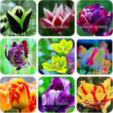 Free Shipping 100Pcs/bag Bonsai Tulip Seeds 20 Varieties Rainbow Black Purple Yellow Blue Tulip Flower Seeds Potted Plants(China)