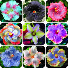 200 PCS Giant Hibiscus Flower Seeds chinese cheap flower Hibiscus seeds best gift for your kids easy grow for home garden