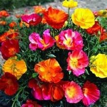 40+seeds/pack THAI SILK CALIFORNIA POPPY FLOWER SEEDS MIX / RESEEDING ANNUAL / PAPAVER