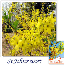 Buy 2 Get 1!(Can accumulate ) 1 Pack 20 Seeds Chinese Traditional Good Effect Herb Weeping Forsythia E010(China)