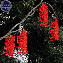 Rare Mucuna Benettii Red Jade Vine Seeds, 5 seeds, professional pack, very beautiful woody climbing perennial flowers TS379T(China)