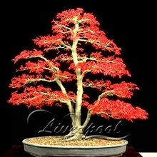 50 Seeds Japanese Maple Bonsai Tree Red Maple Favorites of Butterflies & Useful Bees DIY Home Garden Free shipping(China)