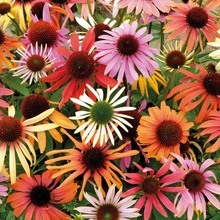 Hardy Perennial Echinacea x hybrida 'Magic Box' Coneflower Seeds, Professional Pack, 50 Seeds / Pack, Very Beautiful Park