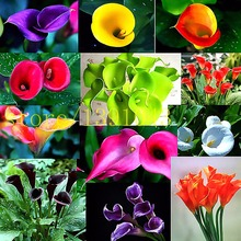 calla lily seeds 100 pcs rare flower seeds for home garden planting  not calla lily bulbs