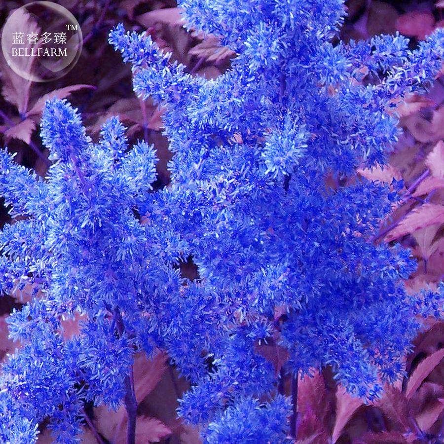 Us 159 bellfarm dark blue astilbe chinensis perennial flower loading zoom izmirmasajfo