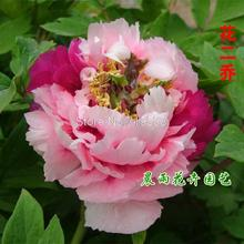 King of flowers / two Joe / potted peony garden flowers 10 seeds