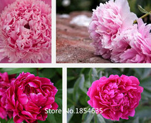 Garden Plant The Rarest Multi-colored Delightfully Ruffled Twisted Japanese Peony Tree Seeds, Professional Pack, 10 Seeds / Pack